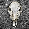 0710-0099 Deer Skull On The Buffalo River by Randy Forrester