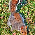 08 Grey Squirrel Sciurus Carolinensis Series by Michael Frank Jr