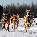 2011 Limited North American Sled Dog Race by Gary Whitton