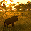 A Backlit Wildebeest Resting by Roy Toft