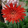 A Beautiful Red Flower Growing At Home by Ashish Agarwal