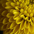 A Bouquet Of Button Chrysanthemums by Joel Sartore