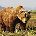 A Brown Grizzly Bear Ursus Arctos by Deb Garside