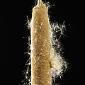 A Cattail Typha Latifolia Disperses by Joel Sartore