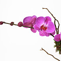 A Close-up Of An Orchid Branch by Nicholas Eveleigh