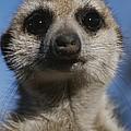 A Close View Of A Meerkat Suricata by Mattias Klum