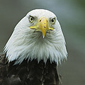 A Close View Of An American Bald Eagle by Tom Murphy