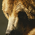 A Close View Of The Face Of A Grizzly by Tom Murphy