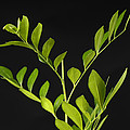A Coffee Plant Coffea Arabica by Joel Sartore