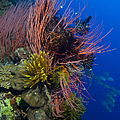 A Colony Of Red Whip Fan Corals by Steve Jones
