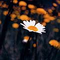 A Daisy Alone by Seth Weaver
