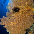 A Diver Looks On At Large Gorgonian Sea by Steve Jones