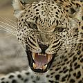 A Female Leopard, Panthera Pardus by Beverly Joubert