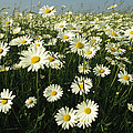 A Field Filled With Daisies In Bloom by Klaus Nigge