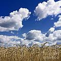 A Field Of Wheat Auvergne. France by Bernard Jaubert