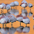 A Flock Of Migratory Flamingos Roost by Joel Sartore