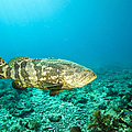 A Goliath Grouper Effortlessly Floats by Terry Moore