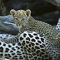 A Leopard  Cub, Panthera Pardus by Beverly Joubert