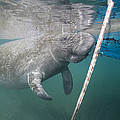 A Manatee Gets Dangerously Close by Nick Norman