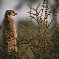 A Meerkat Suricata Suricatta Stands by Mattias Klum