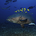 A School Of Golden Trevally Follow by Terry Moore