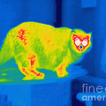 A Thermogram Of A Long Haired Cat by Ted Kinsman