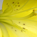 A Yellow Lily Lilium Canadense by Joel Sartore