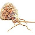 Activated Granulocyte, Sem by Steve Gschmeissner