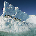 Adelie Penguin Pygoscelis Adeliae Group by Colin Monteath