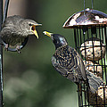Adult Starling Feeds A Juvenile by Chris Day
