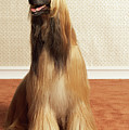 Afghan Hound Sitting In Room by Dtp
