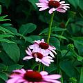 African Daisies 4 by Vivian Cosentino