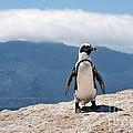 African Penguin by Fabrizio Troiani