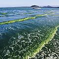 Algal Bloom by Alexis Rosenfeld