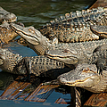 Alligator Pool Party by Carolyn Marshall