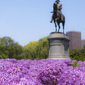 Allium Flower At The Boston Common by Jiayin Ma