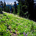 Alpine Meadow Vii At Mount Rainier by David Patterson