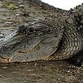 American Alligator by Doug McPherson