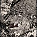 American Alligator by Rudy Umans
