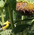 American Goldfinch  by Yumi Johnson