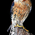 American Kestrel by Dave Mills