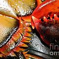 American Lobsters by Matt Suess