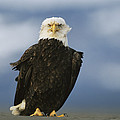 An American Bald Eagle Stands by Klaus Nigge
