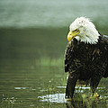 An American Bald Eagle Stares Intently by Klaus Nigge