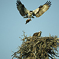 An Osprey Carrying A Fish Back by Klaus Nigge