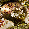 Anemone Or Porcelain Crab In Its Host by Tim Laman