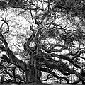 Angel Oak by Lynne Jenkins