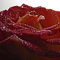 Annaversary Rose II by Debbie Portwood