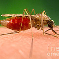Anopheles Minimus, Malaria Vector by Science Source