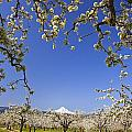 Apple Blossom Trees In Hood River by Craig Tuttle